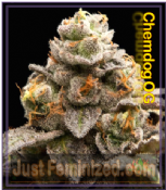 Female Chem OG Ganja Seeds Feminized